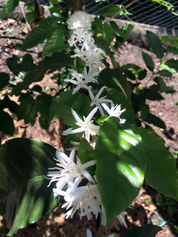 白くて綺麗な花が咲きます
