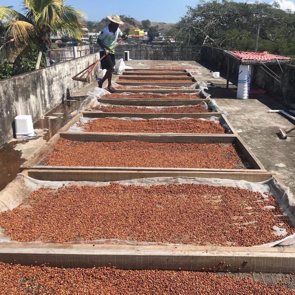 乾燥中のコーヒー豆